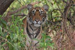 Królowa tygrysów