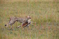 Instynkty geparda
