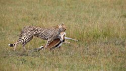 Geparde _ Afrikas elegante Jäger