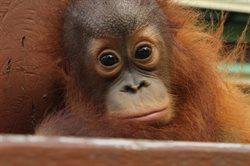 Poznajcie orangutany