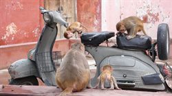 Małpi gang