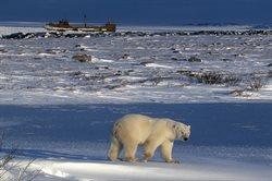 Miasto niedźwiedzi polarnych