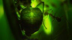 Mrówka zielona: przyjaciel czy wróg