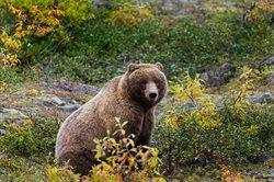 Imperium niedźwiedzia grizli