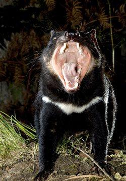 Diabeł tasmański: historia prawdziwa