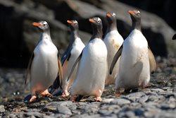 Szpieg wśród pingwinów
