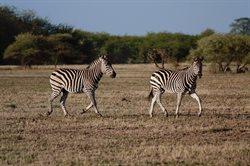 Największe migracje w przyrodzie