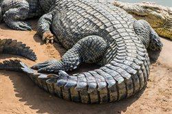 Das Krokodil _ Innenansichten eines Kraftpakets