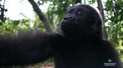 Gabun _ Im Land der Gorillas