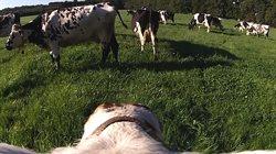 Krowa _ maszyna hodowlana?