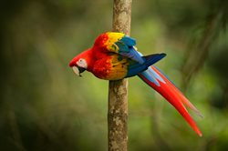 Ara żółtoskrzydła wraca w tropiki