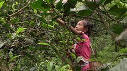 Chiny: Kolebka herbaty
