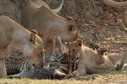 Najgroźniejsze zwierzęta Afryki: postrachy Botswany