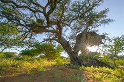 Wüste Wurzeln, starke Stämme